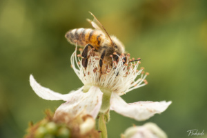 Bee on mulberry flower