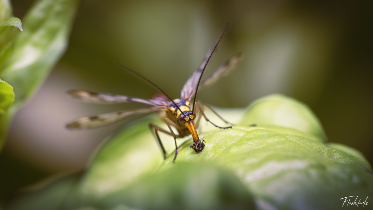 Scorpion Fly eating an aphid